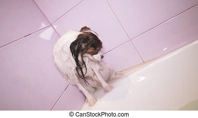 Wet Papillon dog stands in bathroom stock footage video -...