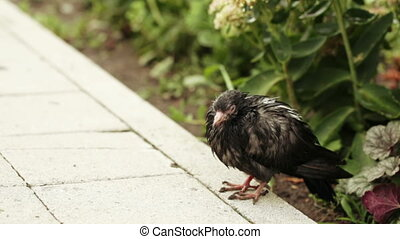 Wet pigeon on asphalt