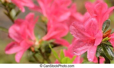 Wet pink azalea flowers - Bright pink azalea blossoms wet...
