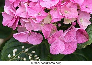 wet pink hydrangea in bloom