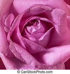 detail of a wet pink rose flower with dew on petals