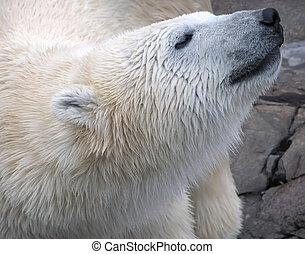 Wet polar bear close-up portrait