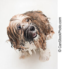 Wet puppy taking a bath on a gray background