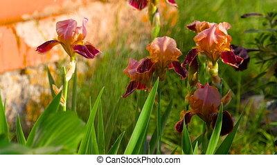 Wet red iris under rain - Red Iris flower with water-drops...