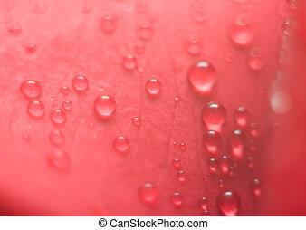 Wet red petal of rose