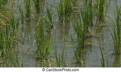 Wet rice cultivation - A hand held, close up shot of rice...