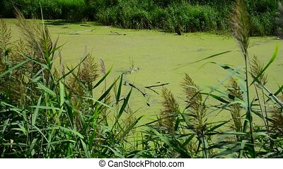 Wet river covered with duckweed