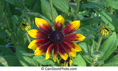 wet rudbeckia flower in garden