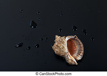 Wet shell from rapana venosa on black
