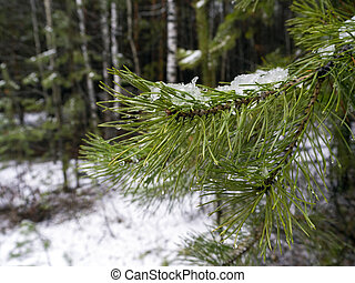 Wet snow lies on a pine branch, water droplets on needles. Pine branch close-up on the background of a winter snowy forest. Natural forest background.