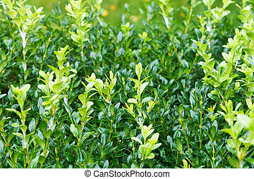 wet sprigs of buxus after rain