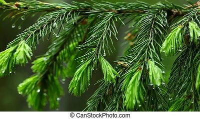 Wet spruce twig.