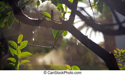 Wet tree with falling water drops and sun specks - Slow...