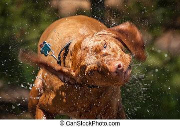 Wet Vizsla Dog Shaking