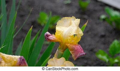 Wet yellow-purple iris under rain