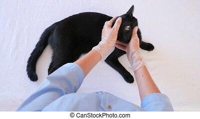 weteran, powolny, doktor, kontrola, motion., kot, 4k., lekarz weterynarii, clinic.
