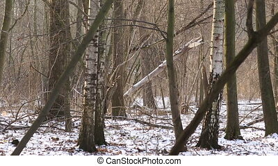 Wetland floodplain forest covered with snow in winter,...