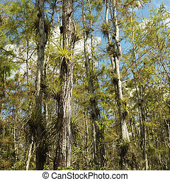 Wetland, Florida Everglades. - Airplants growing on cypress ...