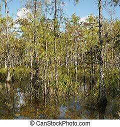 Wetland, Florida Everglades. - Cypress trees in wetland of...