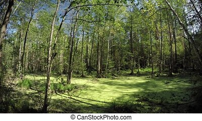 Wetland mixed forest. - Wetland with mixed forest. 1080p...