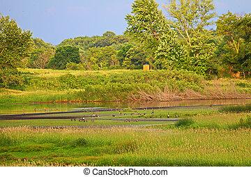 Wetland Restoration in Illinois - Canada Geese (Branta...
