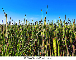 horsetail - wetland with horsetail