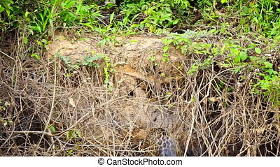 wetlands, jaguar, dostając, pantanal, rzeka, riverbank, poza