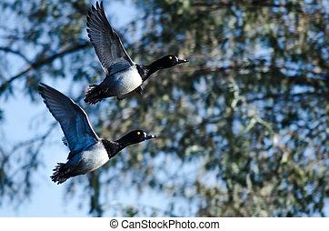 wetlands, vol, anneau-se bécoté, deux, canards, prendre