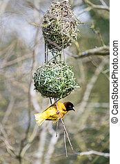 wever, mannelijke vogel, zwarte-aangevoerde