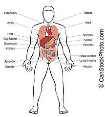 Anatomia Wektor Samiec Organy Wewnetrzny Budowa Wektor Plaski