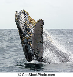 A humpback whale at the galapagos