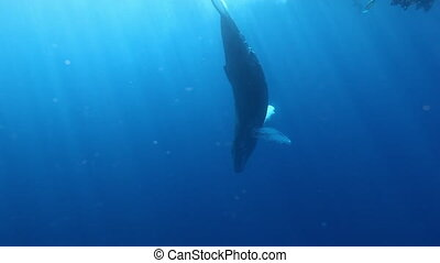 Whale Humpback vertically erect near divers underwater in...