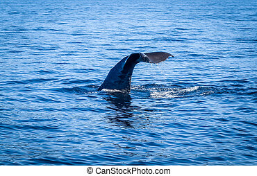 Whale in Kaikoura bay, New Zealand