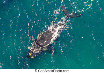 Whale in South Africa - Adult Whale in the sea. St Lucia in...