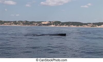 Whale on the ocean surface Mozambiq - South Africa ocean...