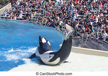 Whale Performing - Killer whale performing at the park