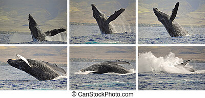 Whale photo sequence - A Breaching Humpback Whale off the...