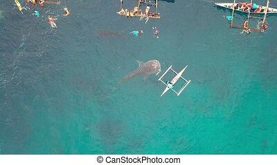 Whale shark eating fish whale feeding from boat in open sea....