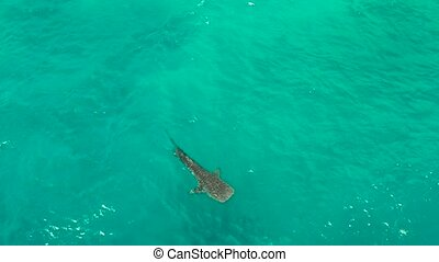 Whale Shark in the clear blue water. Philippines, Cebu