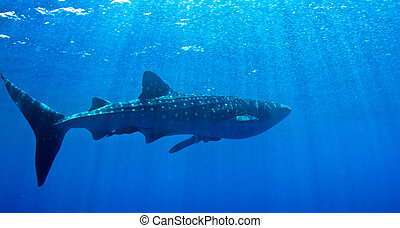 Whale shark in the sun. - A huge whale shark warms up near ...