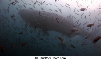 Whale shark near scuba divers underwater on background of seabed in Galapagos.