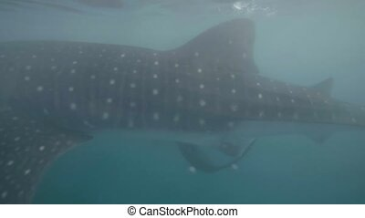 Whale shark swimming underwater sea close up. Wild whale...