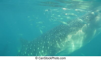 Whale shark swims in search of plankton.