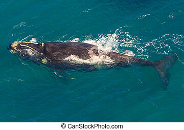 Whale South Africa - Adult Whale off the water in St Lucia,...