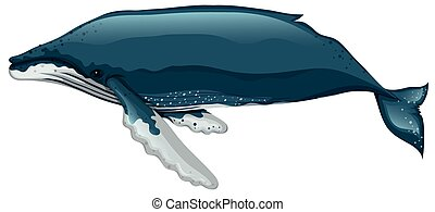 Whale swimming on white background
