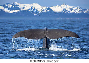 The tail of a Sperm Whale diving