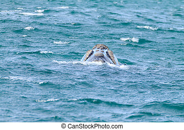 Whale watching from Valdes Peninsula, Argentina. Wildlife
