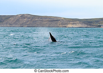 Whale watching from Valdes Peninsula,Argentina. Wildlife