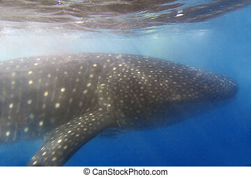 Whaleshark at Donsol, Philippines