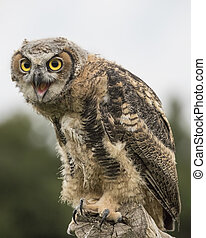 What ARE you looking at lady? - Baby Great Horned Owl seems ...